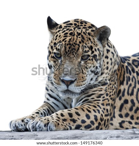 Sad eyes of a cougar. Closeup portrait of a jaguar on white background. The most dangerous and beautiful beast of South America. - stock photo