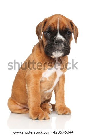 Sad German boxer puppy on white background