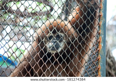 Sad gibbon behind cage