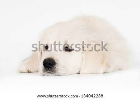 sad golden retriever puppy - stock photo