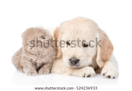 Sad golden retriever puppy and tiny kitten together. isolated on white background