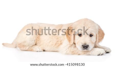 Sad golden retriever puppy. isolated on white background - stock photo