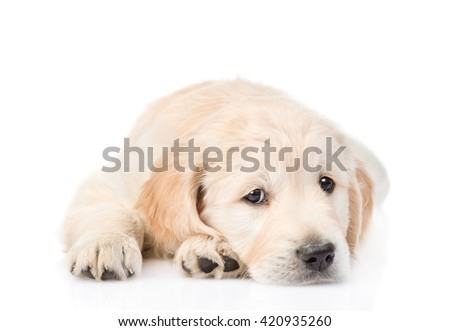Sad Golden Retriever puppy lying in front view. isolated on white background - stock photo