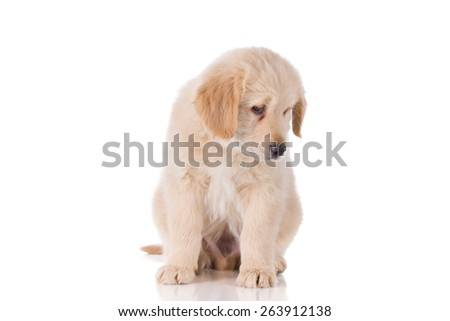 Sad Golden Retriever puppy sitting looking down - stock photo