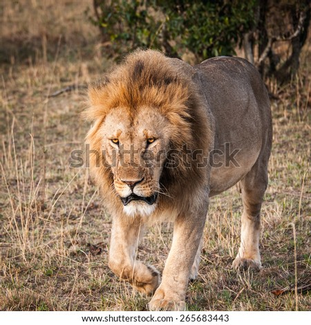 Sad Lion, the king of the jungle, in Kenya