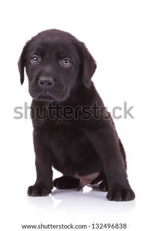 sad little labrador retriever puppy dog looking at the camera while sitting down - stock photo