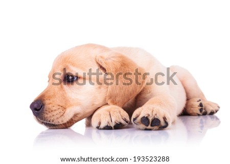 sad little labrador retriever puppy dog with head on paws looks away to its side on white background - stock photo