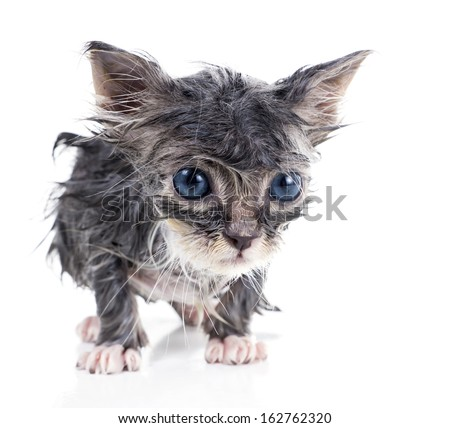 Sad little wet gray kitten - stock photo