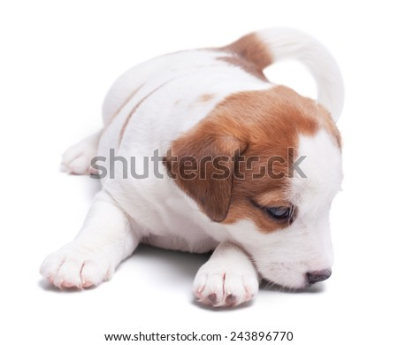 sad lone puppy Jack Russell lie on white background. - stock photo