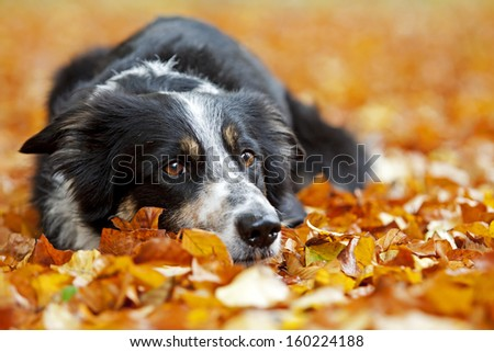 Sad look from a border collie taken in autumn. - stock photo