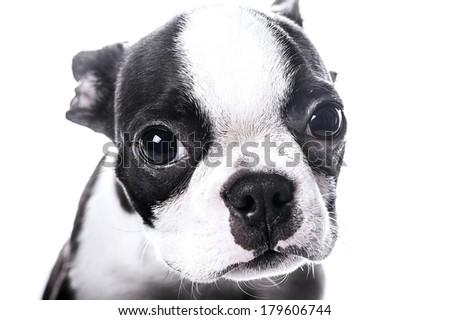 Sad look puppy - stock photo