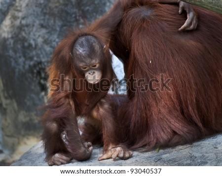 Sad looking baby orangutan with its arm arung his mother - stock photo
