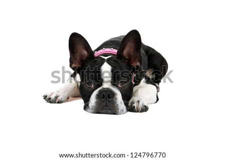 Sad looking Froston (Frenchie x Boston Terrier) resting her head on the floor and looking at the camera.  Isolated on a white background. - stock photo