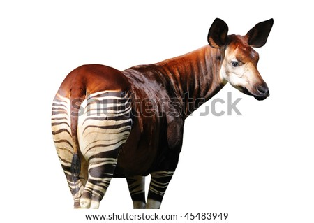 Sad Looking Okapi Isolated on White Background with Clipping Path - stock photo