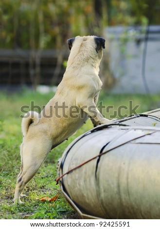 Sad looking pug dog - stock photo