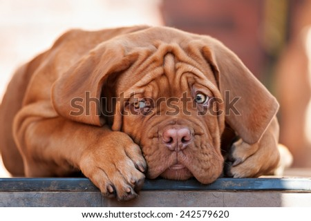 sad man Bordeaux Mastiff - stock photo