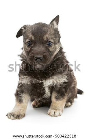Sad mongrel puppy brown, isolated on white