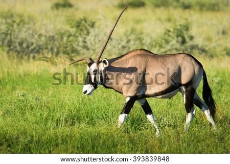 Sad Oryx with curved horn is on the Kalahari, Botswana - stock photo