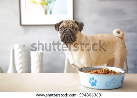 sad pug dog with food bowl ready to eat standing on chair at dining table