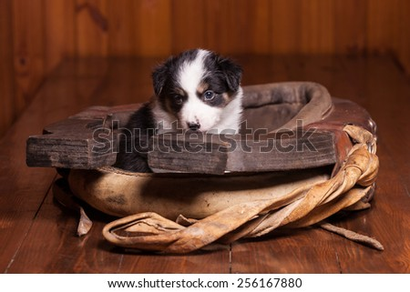 Sad puppy border collie sitting inside collar for a horse - stock photo