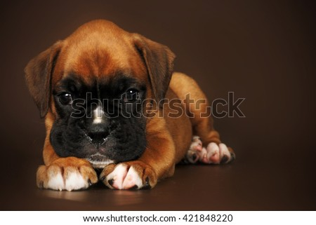 Sad puppy boxer laid his head on paws and looks right, causing pity - stock photo