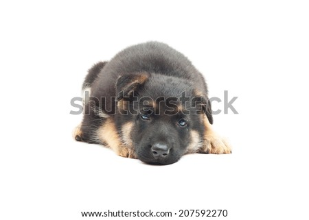 sad puppy German shepherd on a white background isolated