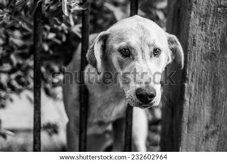 Sad puppy left alone at home sticks his head over the fence, black and white image - stock photo