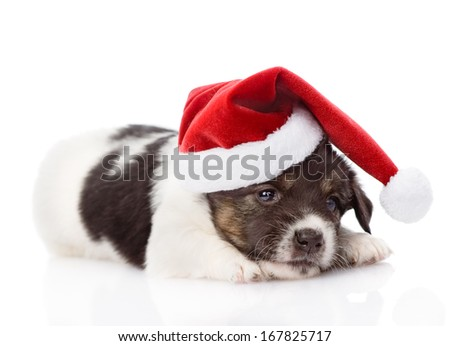 sad puppy with santa hat. isolated on white background