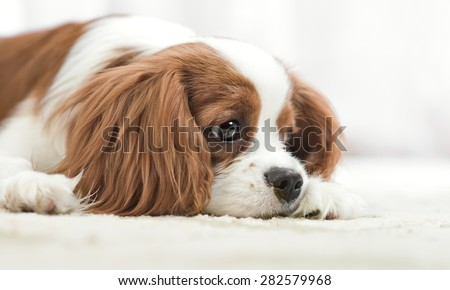sad pure-bred dog, puppy Cavalier King Charles Spaniel, lie, close up muzzle - stock photo