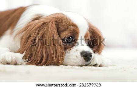 sad pure-bred dog, puppy Cavalier King Charles Spaniel, lie, close up muzzle - stock photo