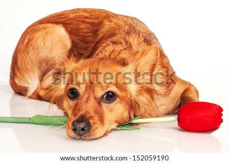 Sad red dog with red flower