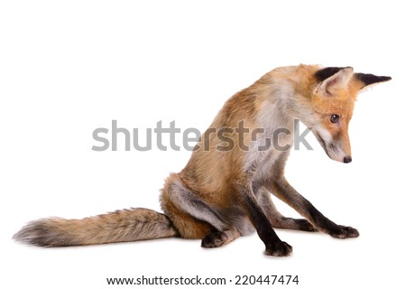 sad red fox. animal isolated on white background - stock photo