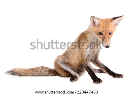 sad red fox. animal isolated on white background