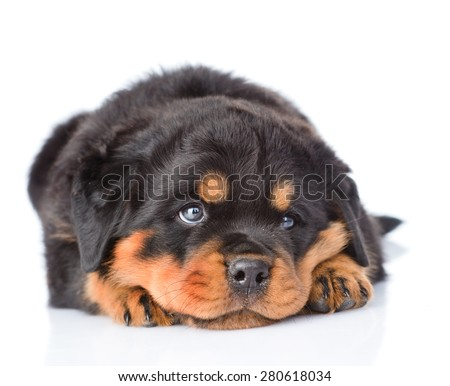 Sad rottweiler puppy lying in front view. Isolated on white background