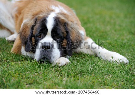 Sad saint bernard puppy in grass - stock photo