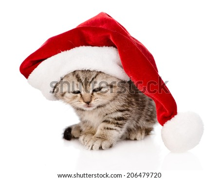 sad scottish kitten with red santa hat. isolated on white background