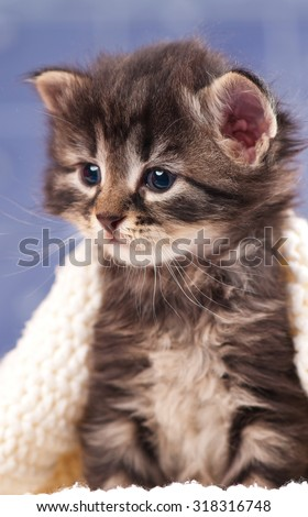 Sad siberian kitten in a warm knitted sweater over light blue background - stock photo