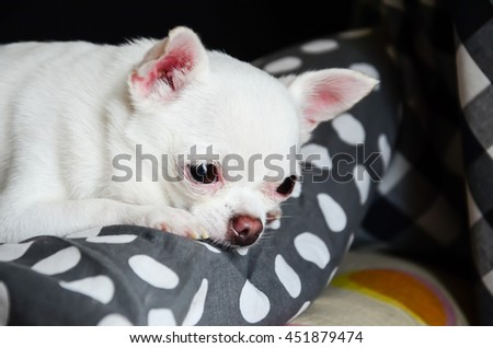 sad small white dog, white chihuahua dog waiting for owner - stock photo