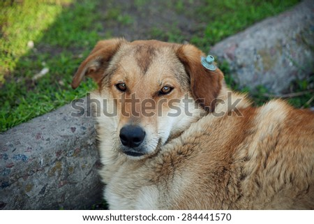 sad stray dog lying  street in the capital of Greece Athens. - stock photo