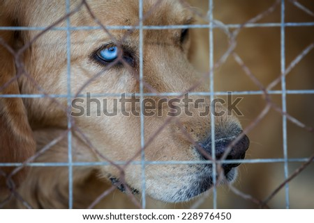 Sad stray dog with bi-color eyes, behind bars  - stock photo