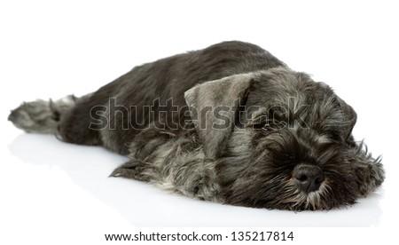 sad zwergschnauzer puppy. isolated on white background - stock photo