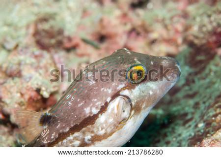 Saddle Puffer ( Canthigaster coronata ) - stock photo
