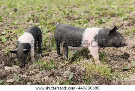 Saddleback piglets looking for food in a muddy field