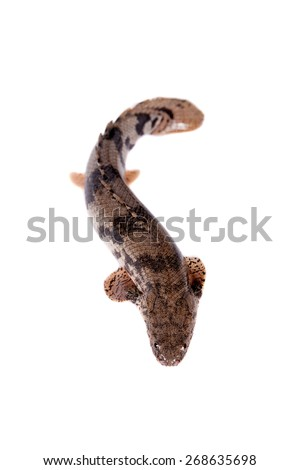 Saddled bichir, Polypterus endlicheri, isolated on white background - stock photo