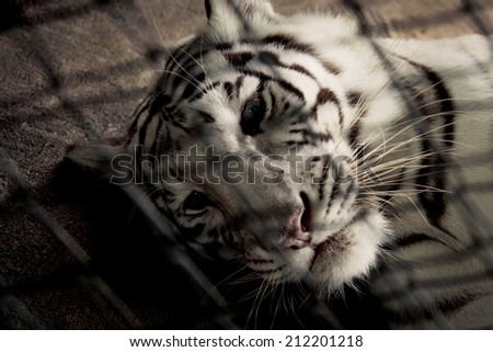 Sadness white tiger in cage - stock photo