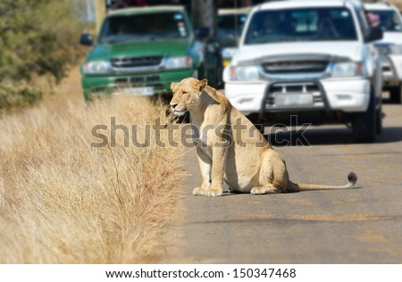 Safari and animal watching, lioness and cars on road in Kruger national park, South Africa  - stock photo