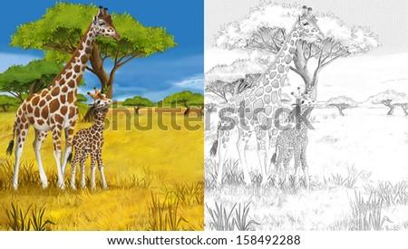 Safari - giraffes - coloring page - illustration for the children - stock photo