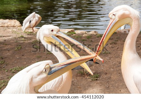 Safari visit on weekend. White pelicans are arguing. - stock photo