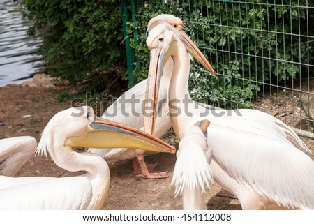 Safari visit on weekend. White pelicans talk. - stock photo