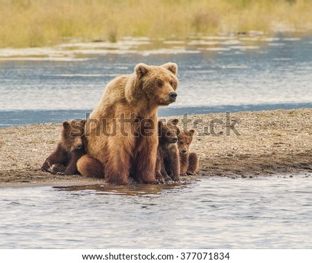 Safe With Mom - Three grizzly bear cubs snuggle up with mom for safety from wild and dangerous world around them. Katmai National Park, Alaska.  - stock photo